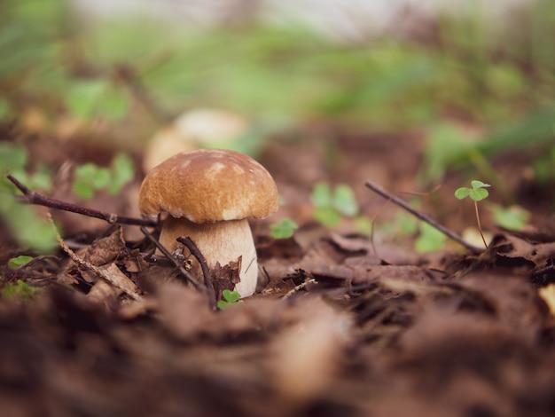 Mushroom white mushroom. popular white boletus mushrooms in the forest.
