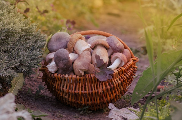 Mushrooms in a basket. harvest brown cap boletus and autumn forest