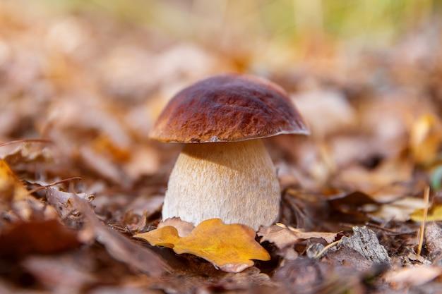 Грибы подберезовики, растущие в лесу. осенние белые грибы. сбор грибов.