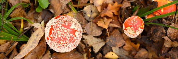 Грибы мухоморов в траве на фоне осеннего леса. токсичный и галлюциногенный красный ядовитый макрос мухомора muscaria грибок крупным планом в естественной среде. . вид сверху