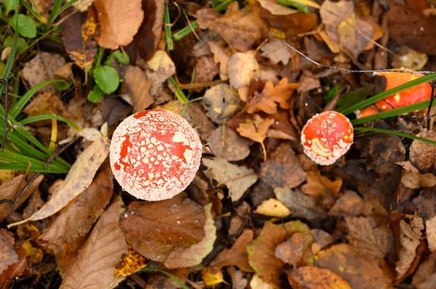 Грибы мухоморов в траве в осеннем лесу. токсичный и галлюциногенный красный ядовитый макрос мухомора muscaria грибок крупным планом в естественной среде. вид сверху