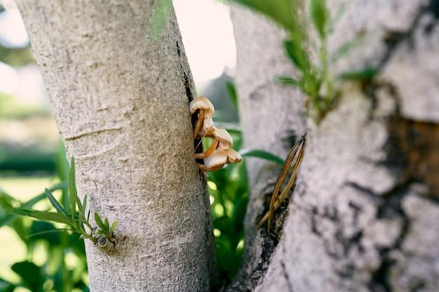 버섯은 올리브 나무 근접 촬영의 줄기에서 자랍니다.