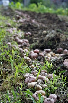 Mushrooms growing in the field