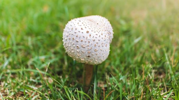 緑の芝生で育つキノコ