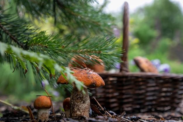 森のキノコは、キノコのピッカーで切る直前に松の下で成長します。すでにいくつかのキノコが入っています。