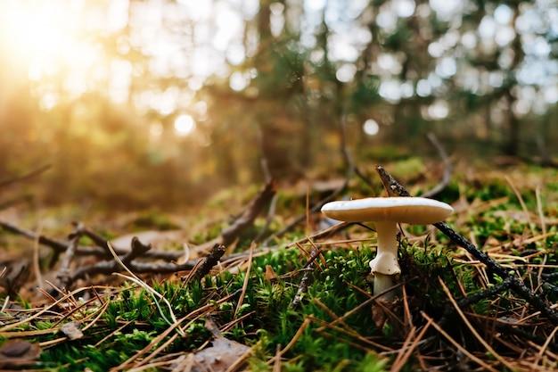 森の苔のキノコ