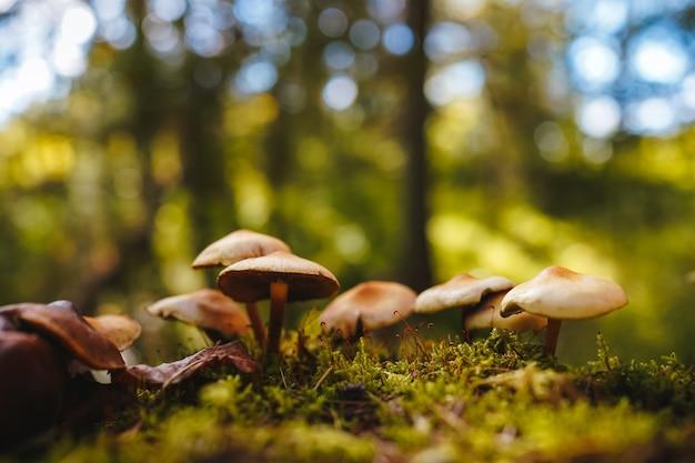 На замшелом пне растут грибы на тонких ножках с темными и светло-коричневыми шляпками.