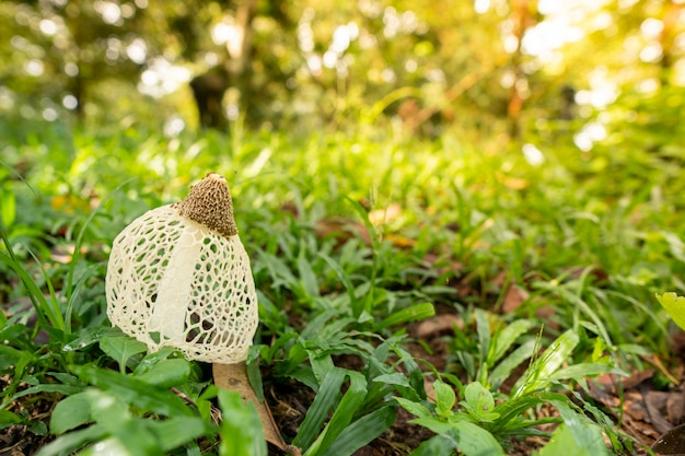 Mushrooms stinkhorn are found in the eastern part of thailand. they look like inedible nets.