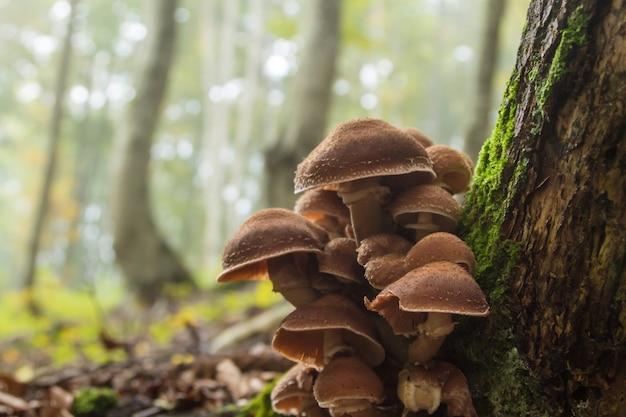 Mushrooms on tree trunk. autumn landscape. brown mushrooms.armillaria mellea