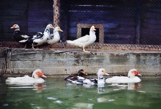 Мускусные утки и гуси гуляют и плавают в бассейне