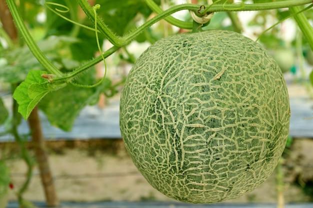 温室の木にマスクメロンの果実