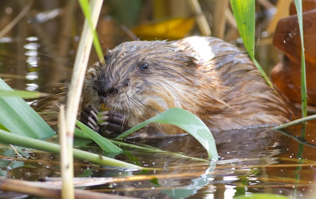 Muskrat sits in the river and eats the stem of the cane