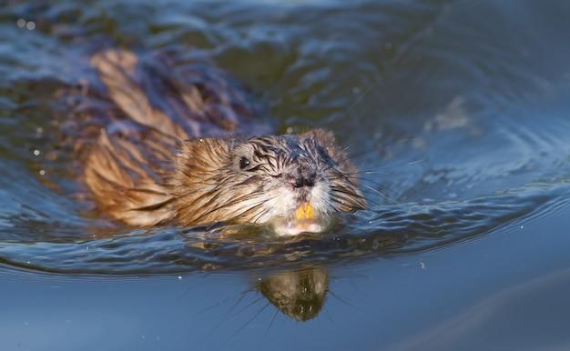 Muskrat swim on the river