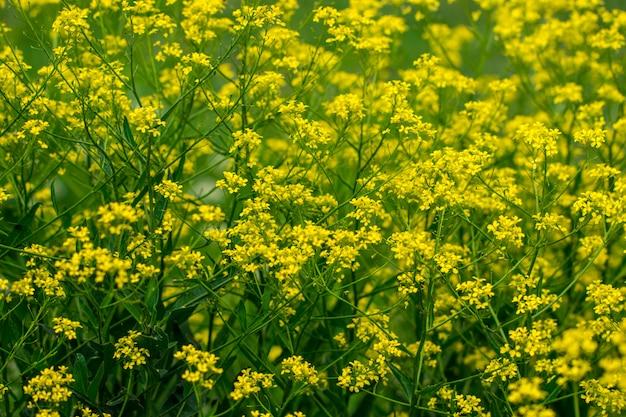 Mustard field beautiful landscape.