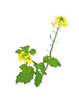 マスタードの花、カノーラまたは油糧種子菜種、白い背景で隔離のポッド。菜種油。セイヨウアブラナ。