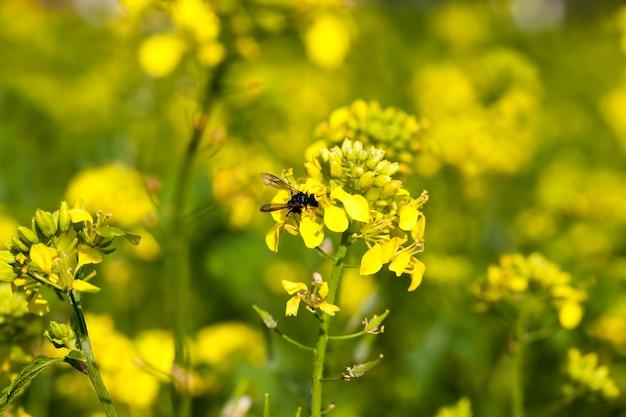Цветы горчицы в весенний сезон