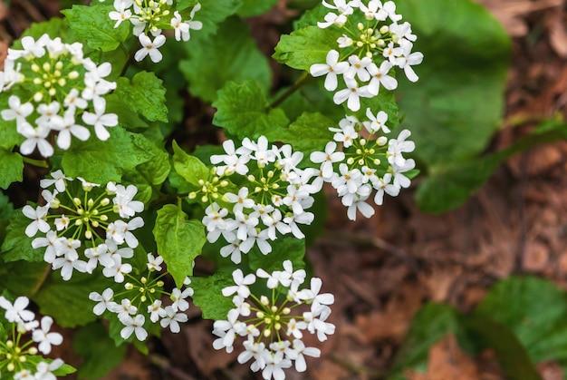 Горчица, чеснок, белые цветы, съедобные дикорастущие цветущие растения в лесу.