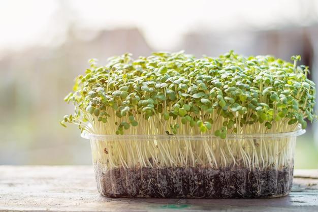Mustard microgreen salad in plastic box on wooden desk. fresh baby mustard micro greens.