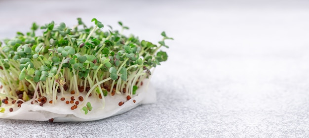 Mustard on the windowsill. microgreens growing. vegan and healthy eating concept. close-up. horizontal banner. copy space for your text