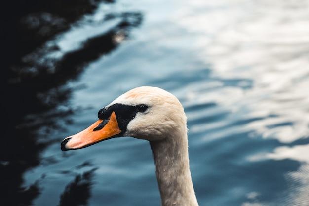 バックグラウンドで白鳥とアヒルをミュートします。ウィーンのプラーターで撮影。湖はかつてドナウ川のビラボンでした。