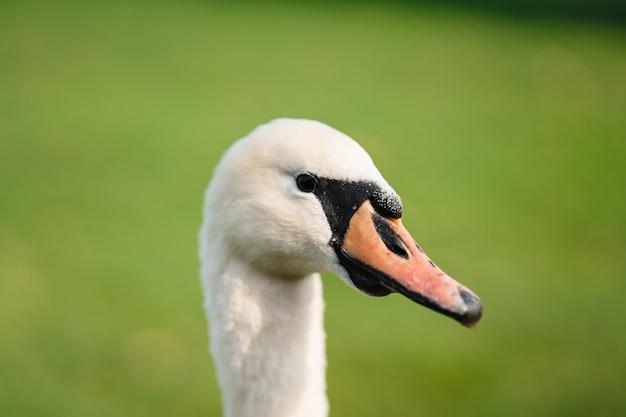 Немой лебедь cygnus olor взрослый крупным планом