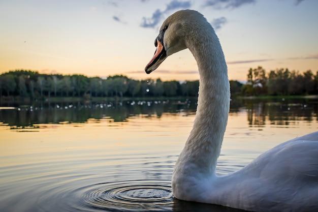 Лебедь-шипун cygnus olor в озере гебарт на закате в залаэгерсеге, венгрия