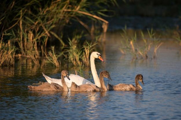 Семья немой лебедь с родителями и цыплятами