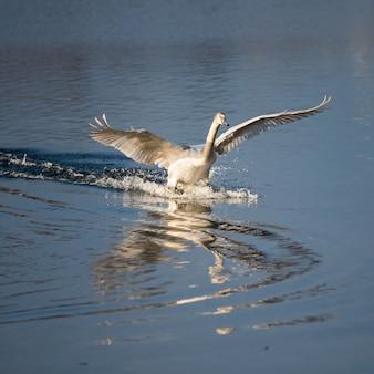 コブハクチョウは、川の表面と岸の上を、翼を伸ばして飛んでいます。