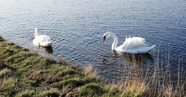 영국의 호수에 있는 음소거 백조