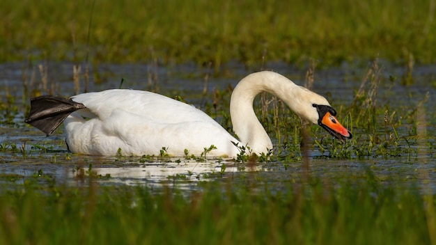 Mute swan swimming on flood in green spring environment