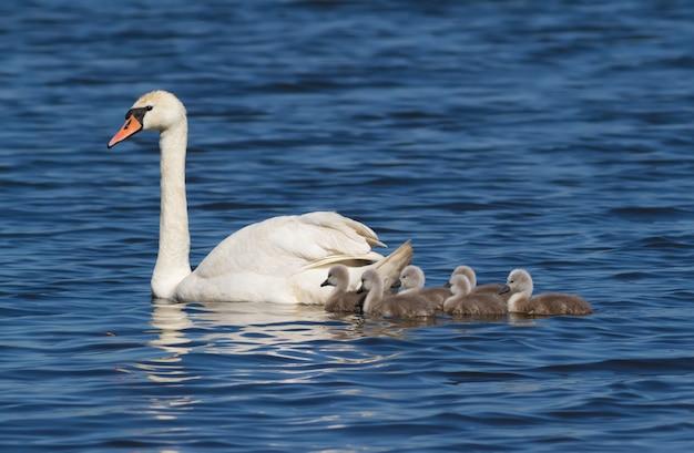ミュートスワンが雛と一緒に川を泳ぐ