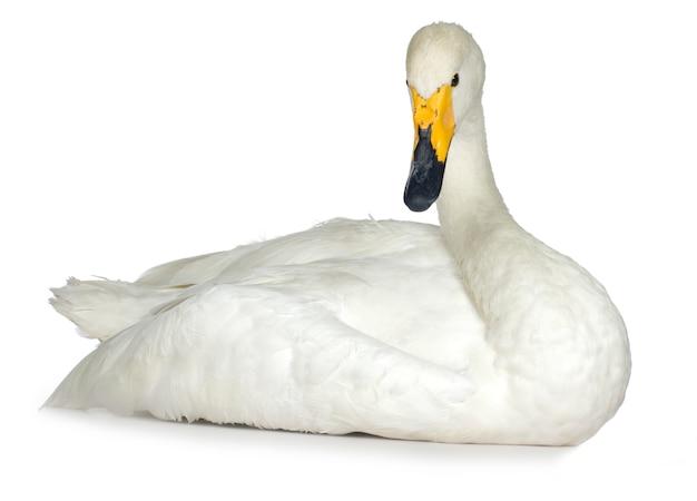 Mute swan on white