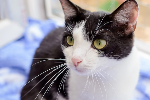 Морда черно-белая зеленоглазая кошка крупным планом на синем фоне