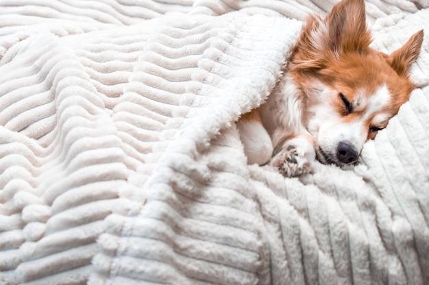 베개에 담요 아래 잠자는 빨간 강아지의 총구 클로즈업