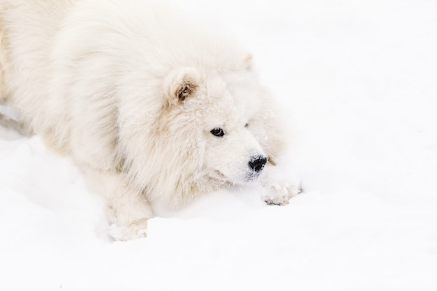 Muzzle dog samoyed on snow