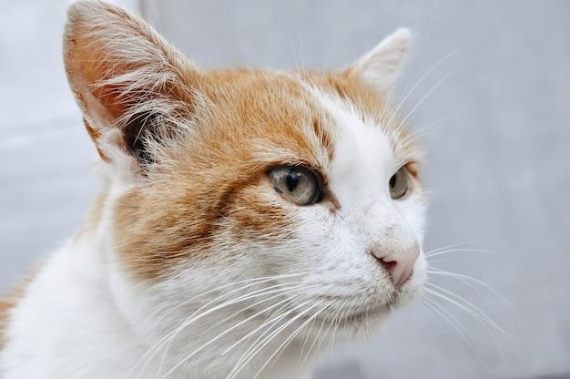 Морда рыже-белого кота