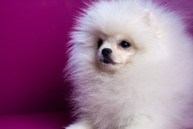 明るいピンクの背景にクローズアップの銃口の白いポメラニアンの子犬は、美しい白い髪を遠ざけます