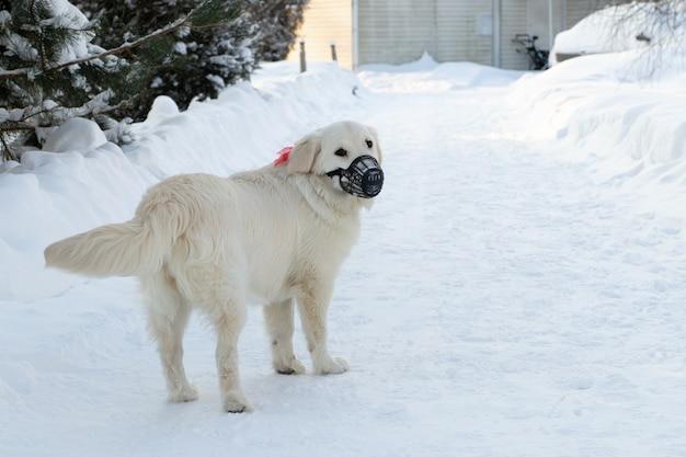 雪の降る冬に屋外を歩く銃口レトリーバー犬