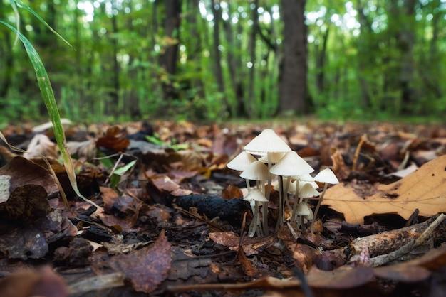 Mycena laevigata в лесу