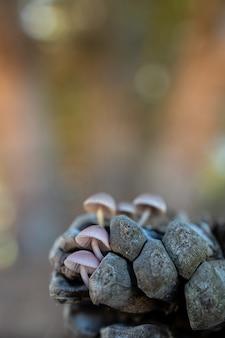 Mycena seynesii. грибы на шишке.