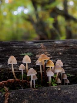 Mycena sp 밤나무 숲의 작은 버섯