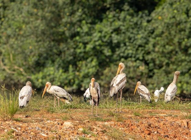 塗られたコウノトリ、mycteria leucocephala、未熟な鳥の群れ