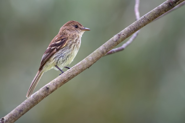 Myiophobus fasciatus / мухоловка фирменного цвета. птица, сидящая на диагональной ветке, наблюдалась в горах колумбии.