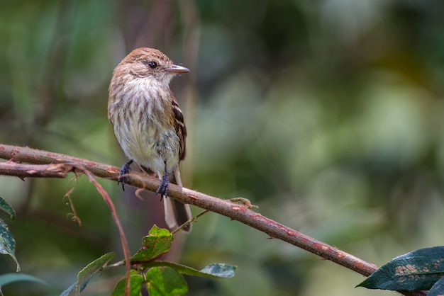 Myiophobus fasciatus / 브랜드 색상 flycatcher. 자연 서식지의 티니 송 버드. flycatcher는 숲에 자리 잡고 남미에서 조류 관찰