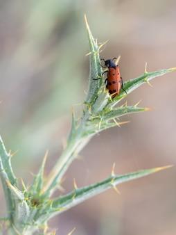 자연 환경에서 촬영한 mylabris hieracii 딱정벌레