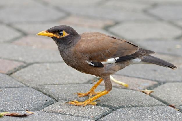 共通のmyna acridotheres tristisタイの美しい鳥