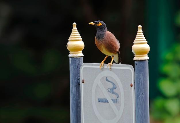 共通のmyna acridotheresタイの美しい鳥