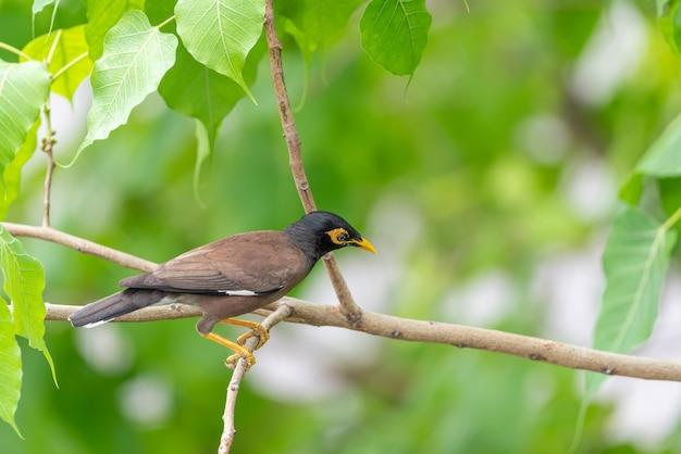 自然野生の鳥(mynasまたはsturnidae)