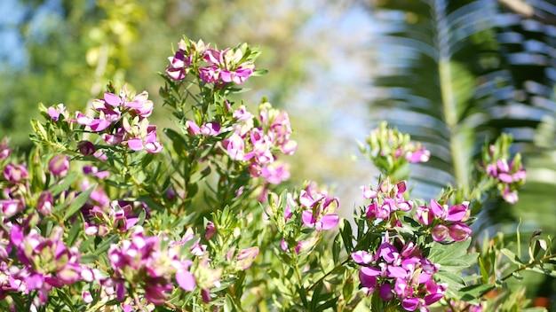 Myrtle leaf milkwort purple flower, california usa. polygala myrtifolia bloom.  botanical blossom