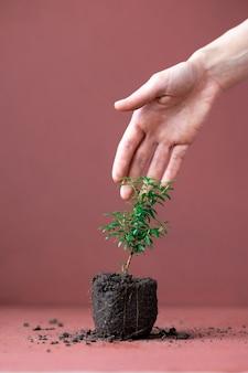 テラコッタの壁にギンバイカの植物と新しい土壌の始まりを持つ女性の手の花
